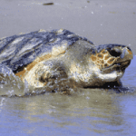 End of legal turtling saved local loggerheads
