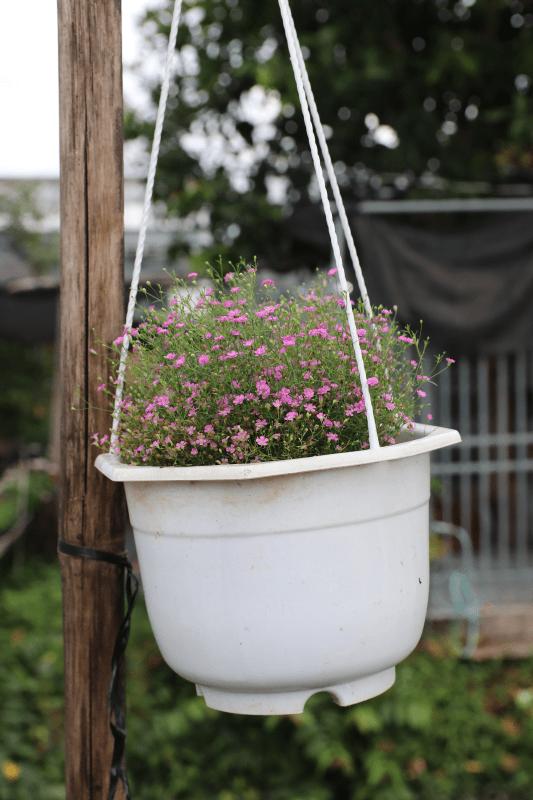Hình Ảnh Cây Hoa Cúc Baby - Cây Hoa Tết Các Loại - Cty TNHH Cây Xanh Đông Thuận Đông