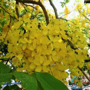 Hình Ảnh Cây Hoàng Hậu Vàng (Muồng Hoàng Yến, Osaka Vàng) - Cây Bóng Mát - Cty TNHH Cây Xanh Đông Thuận Đông
