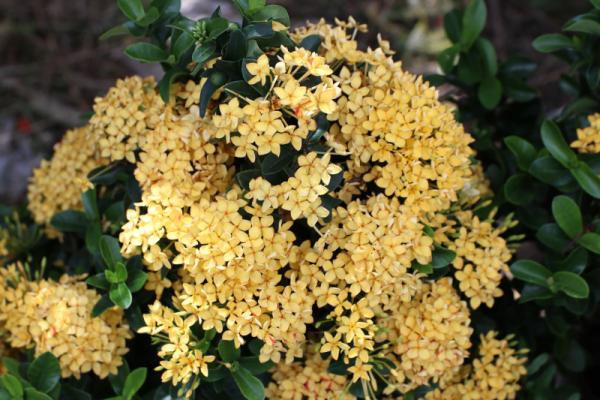 Hình Ảnh Cây Hoa Trang Vàng Lá Quắn (Trang Mỹ Vàng) - Hoa Công Trình Các Loại - Cty TNHH Cây Xanh Đông Thuận Đông