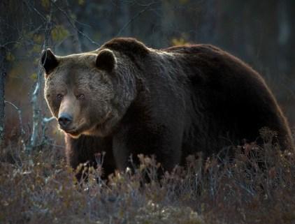 oso pardo rumania