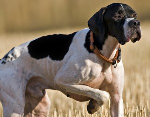 perros-de-caza-pointer-la-gaceta-enfermedades-horz