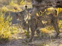 20120413-lince-4