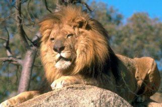 El león podría pasar al Apéndice I de CITES: ¿consecuencias?