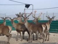 La mejor granja experimental de ciervos de Europa… ¡está en Albacete!