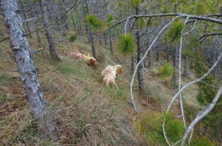 Cantabria prohíbe la caza del corzo en Saja y aumenta la del jabalí