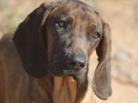 Cataluña regula el rastreo de piezas con perros de rastro