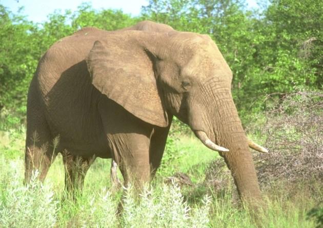 elefante SCI