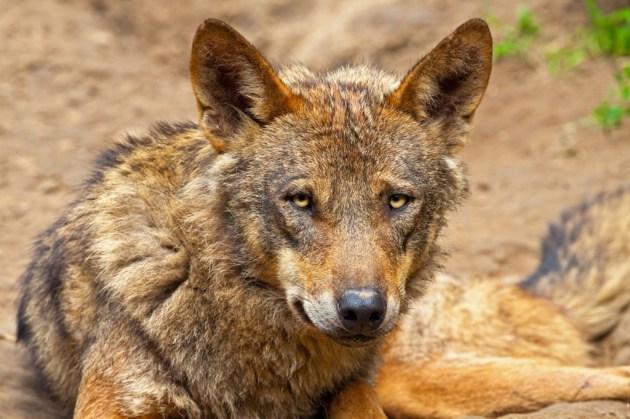 353 - Canis Lupus Signatus (1)