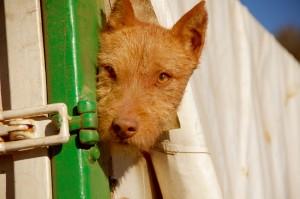 350 - Populismo y politica en la caza (1) rehala perro