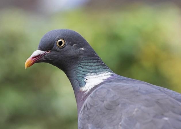 Wood Pigeon - Calumba palumbus
