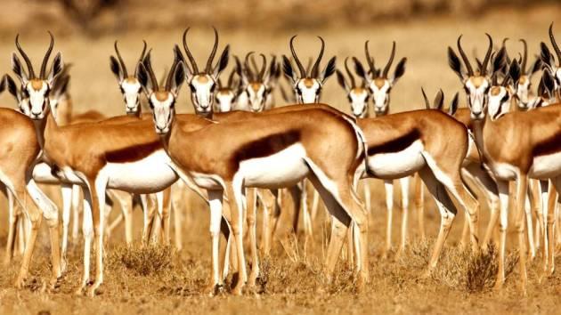 358 - Antilopes (7)