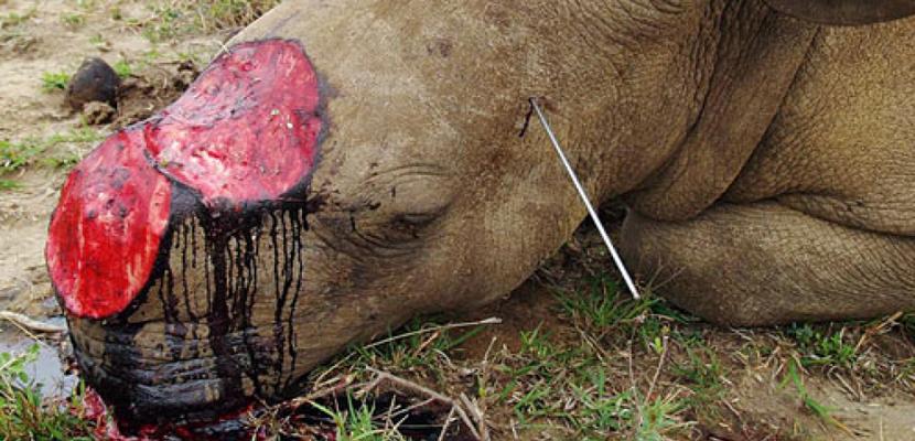 Fotos de rinocerontes muertos 16