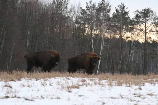 venare hunting bisontes