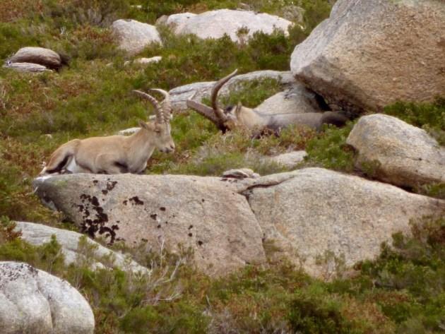 360 - Cabra montes en Galicia (2)