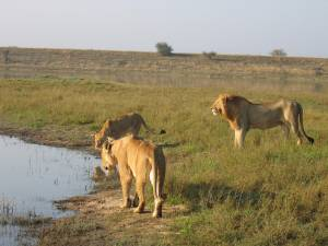 360 - Felidae el leon (1)