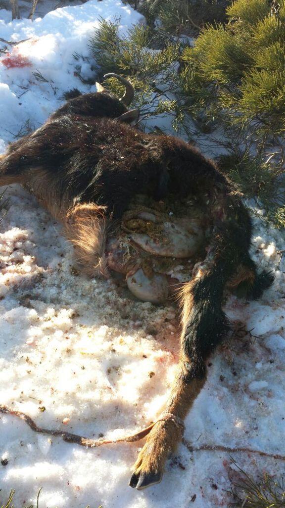 cabra muerta por lobos © ASAJA