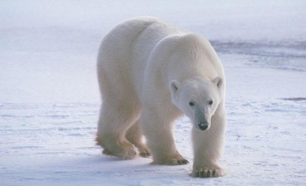 oso polar © SCI