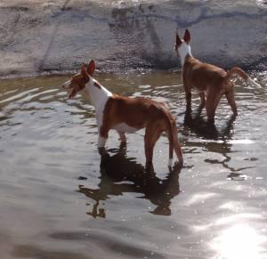 perro podenco ibicenco © M. A. Arnau