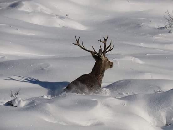 ciervo en nieve© ADECANA