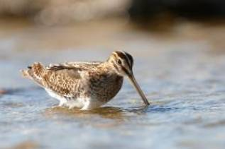 Common Snipe fedding in shallow water