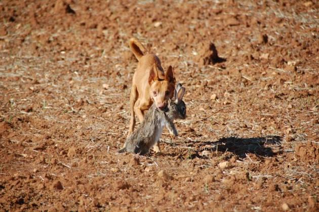 perro caza menor podenco conejo