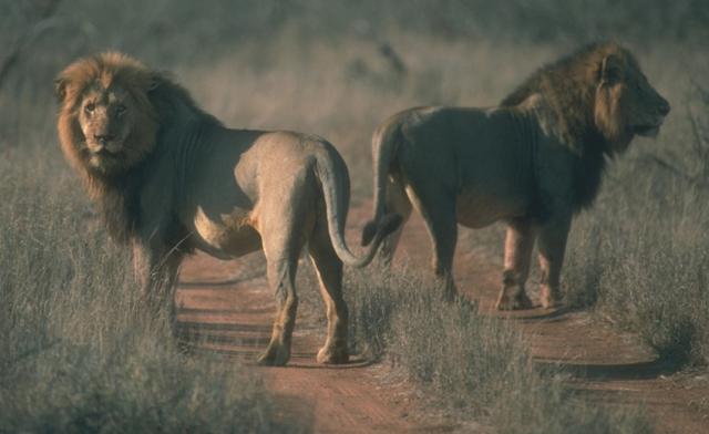 leones © SCI