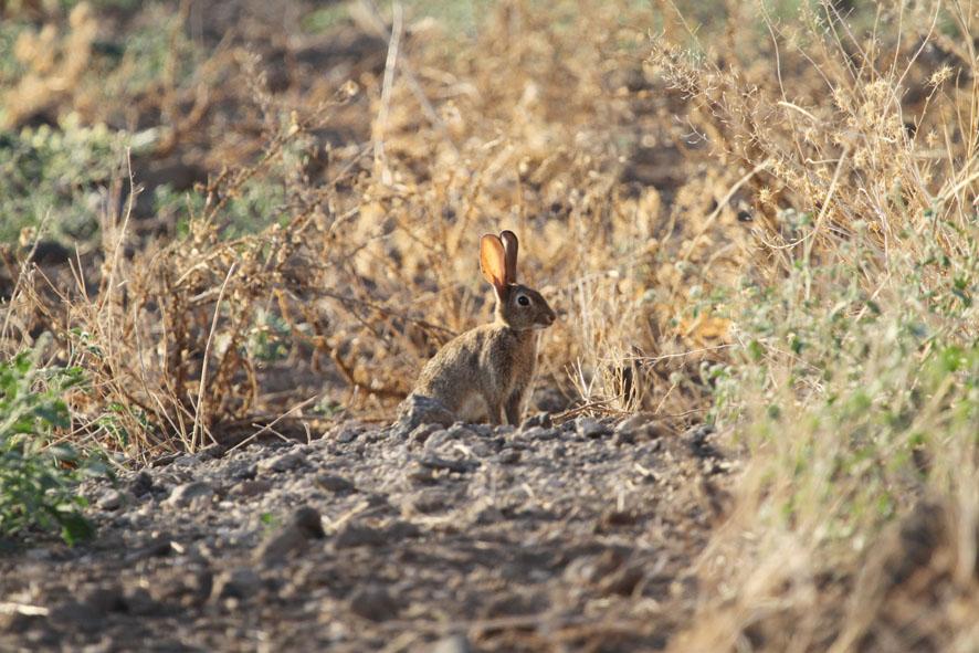 Conejo europeo - Foto de Francois Mougeot.
