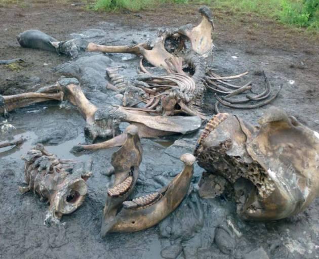 elefante muerto por furtivos en tanzania
