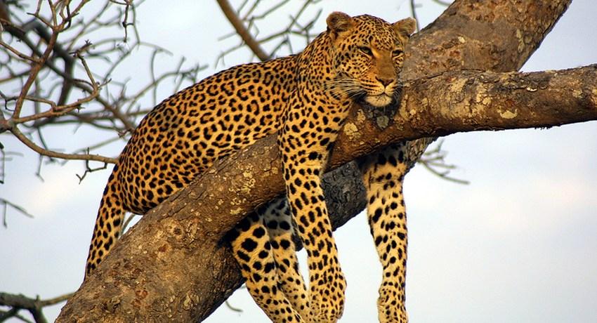EE. UU. estudia incluir al leopardo como 'en peligro de extinción'