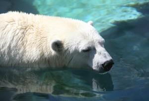 A polar bear swimming in the ocean water
