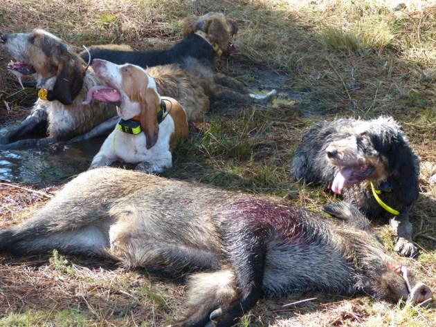 perro caza galicia