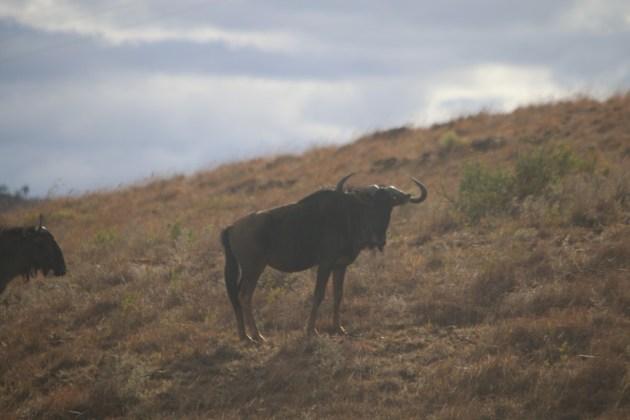 Búfalos tierra zulu © Canal Caza y Pesca