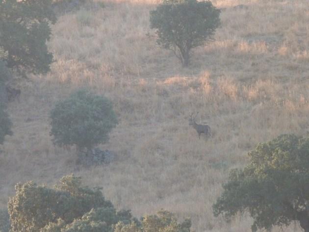 ciervo al amanecer © Manuel de Juan