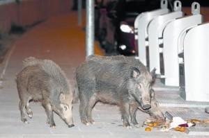 unos-jabalis-alimentan-medianoche-basura-una-calle-sant-cugat-1448829438930