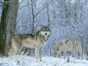 lobo finlandia