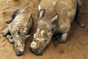 White Rhino calf, mother and juvenile male in holding pens at Hluhluwe-iMfolozi Park, South Africa. © Brent Stirton / Getty Images / WWF-UK