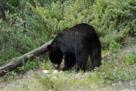Oso negro de las Rocky Mountains (Canadá). El número total de ataques registrados por esta especie iguala al del grizzly y se distribuye principalmente por el Oeste de Norte América. © CSIC