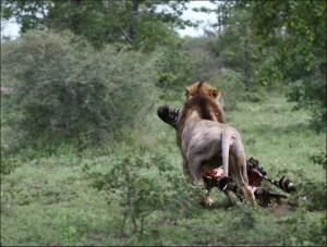 leon devorando cebra