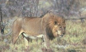 leon viejo