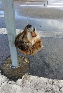 Fotografía facilitada por la Asociación de Vigilantes de Seguridad Privada de Asturias (Avispa) de la cabeza decapitada de un lobo que ha sido hallada colgada de una señal de tráfico en la localidad de La Doriga, concejo de Salas. EFE
