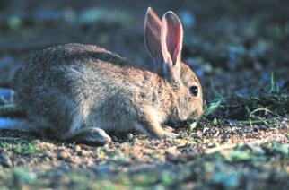 Más de 800 ha afectadas por una plaga de conejos en Tarazona