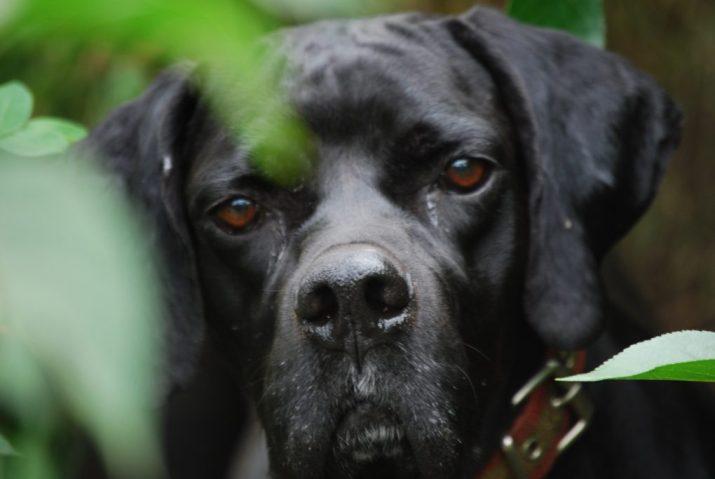 perro labrador UNITEGA caza