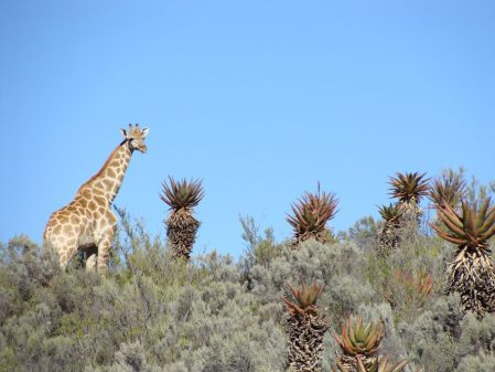 western cape áfrica jirafa