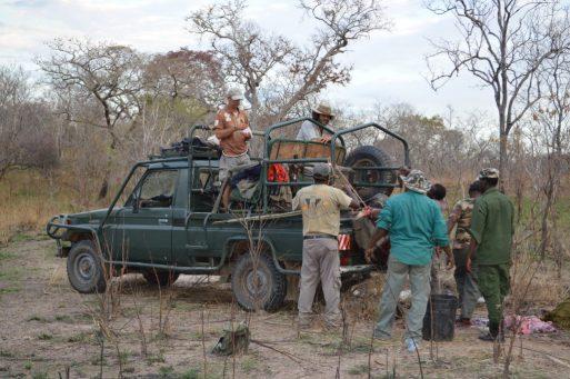 tanzania carga en coche de búfalo