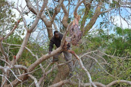 tanzania colocando cebo para el leopardo