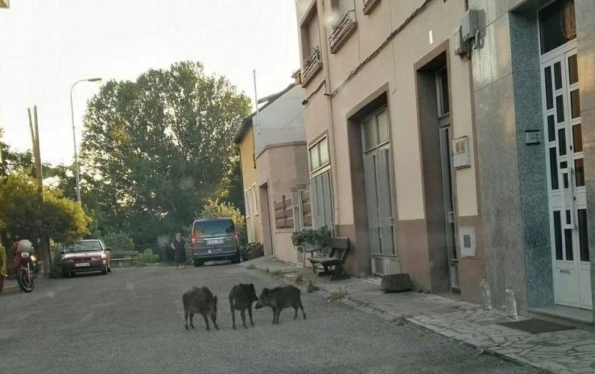jabalies en calle vilanova galicia