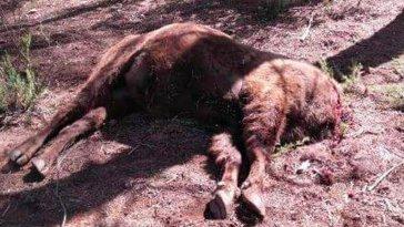 bisonte-seprona