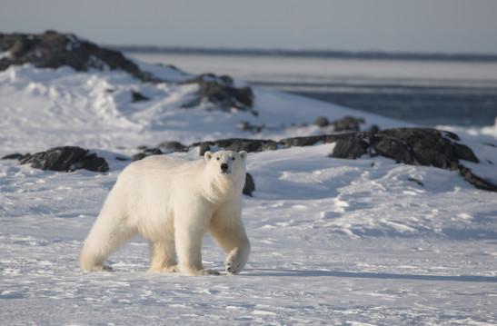 shutterstock_-oso-polar-1