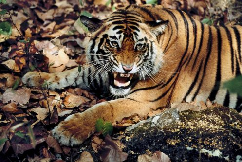 Tiger (Panthera tigris) lying down with mouth open, India.